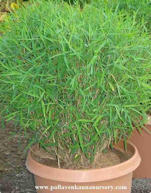 Bamboo Grass4