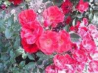 Trandafiri de curte