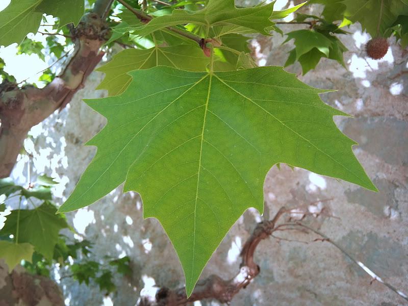 Rboles con alma pl tano platanus hispanica for Arboles de hoja perenne grandes