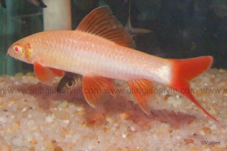 red finned rainbow shark
