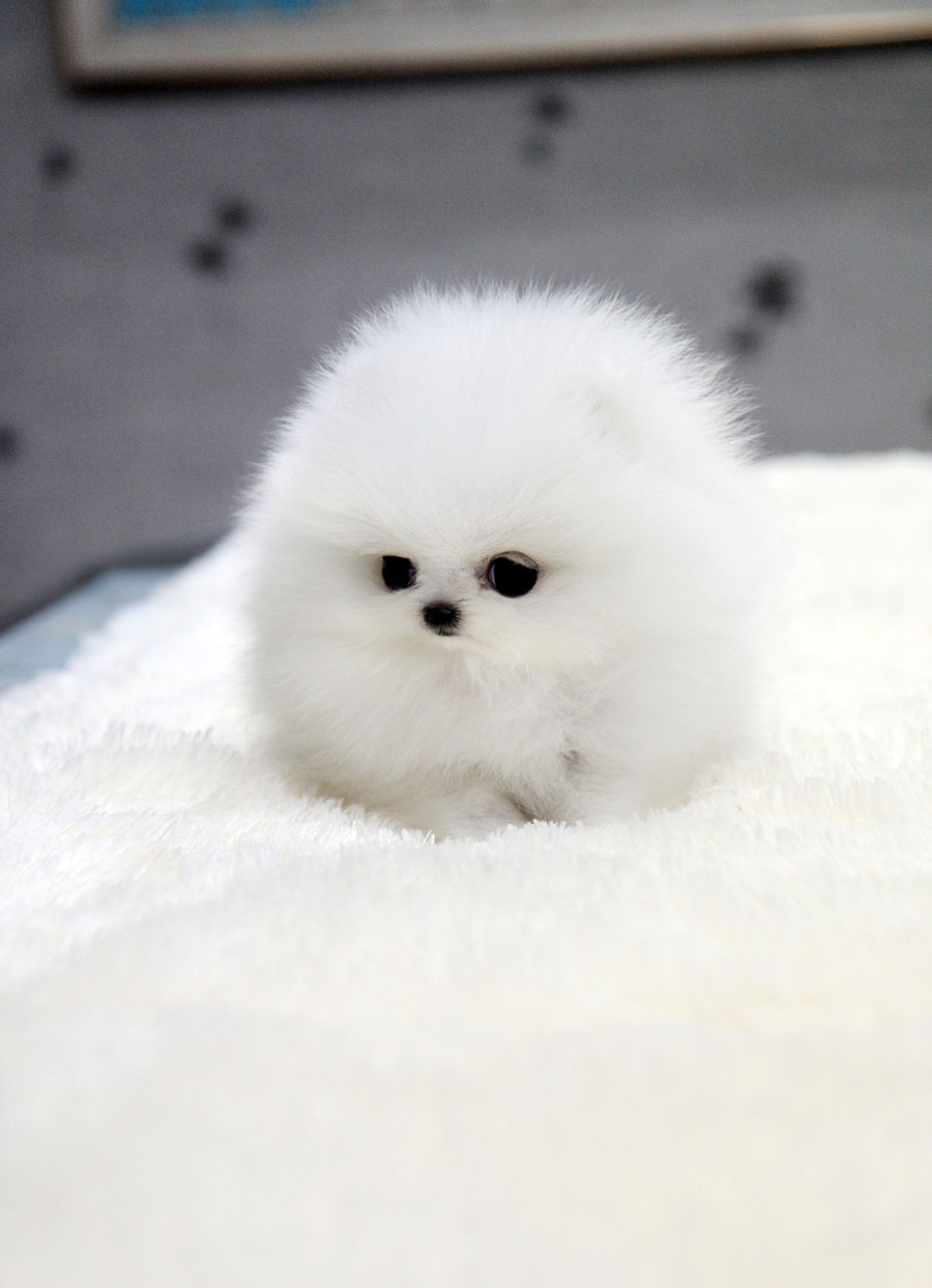 TEACUP PUPPY: ★Teacup puppy for sale★ White teacup pomeranian