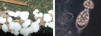 Pengertian Protista, Ciri-Ciri, dan Jenis-Jenisnya (Gambar Protista Mirip Jamur/Jamur Protista)