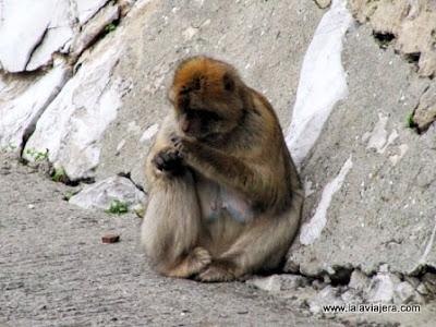 Ape's Den Monos Gibraltar