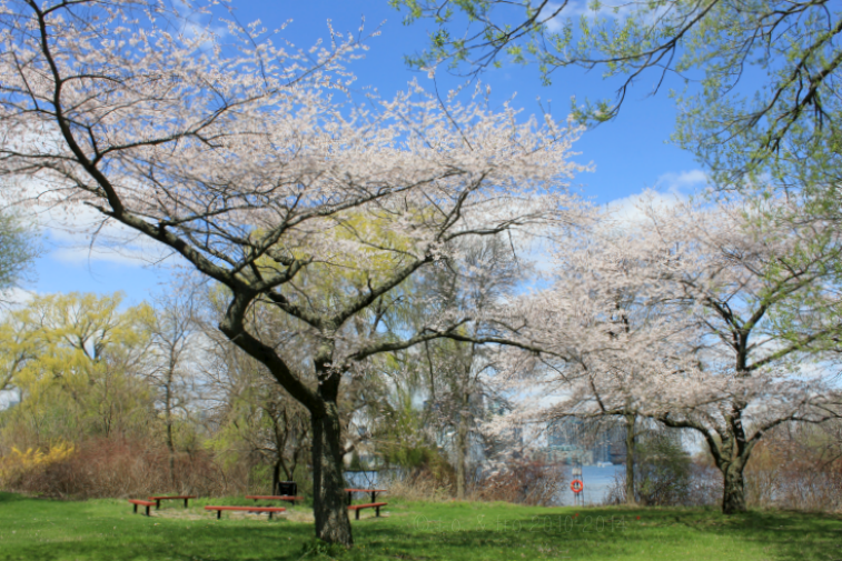 toronto islands cherry blossoms