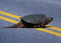 A turtle on the road ... to destruction