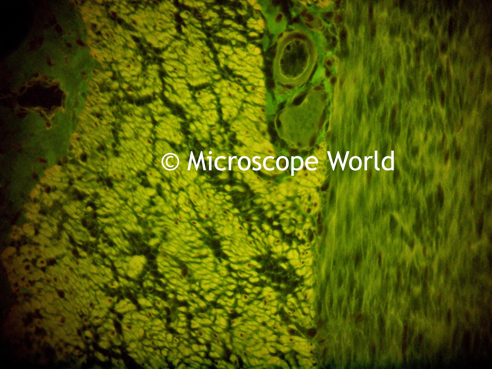 fluorescence microscopy 400x image