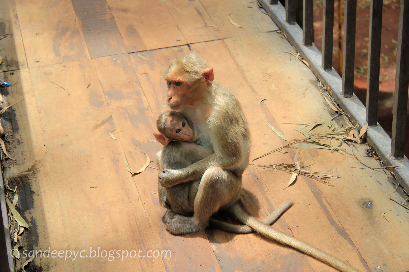 Monkeys at Nandi hills
