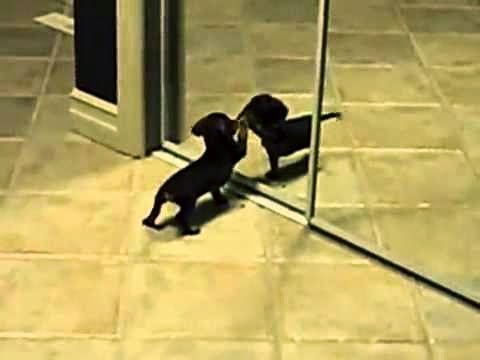 Daily Cute:  A Mini Dachshund Meets a Mirror for First Time (Video)