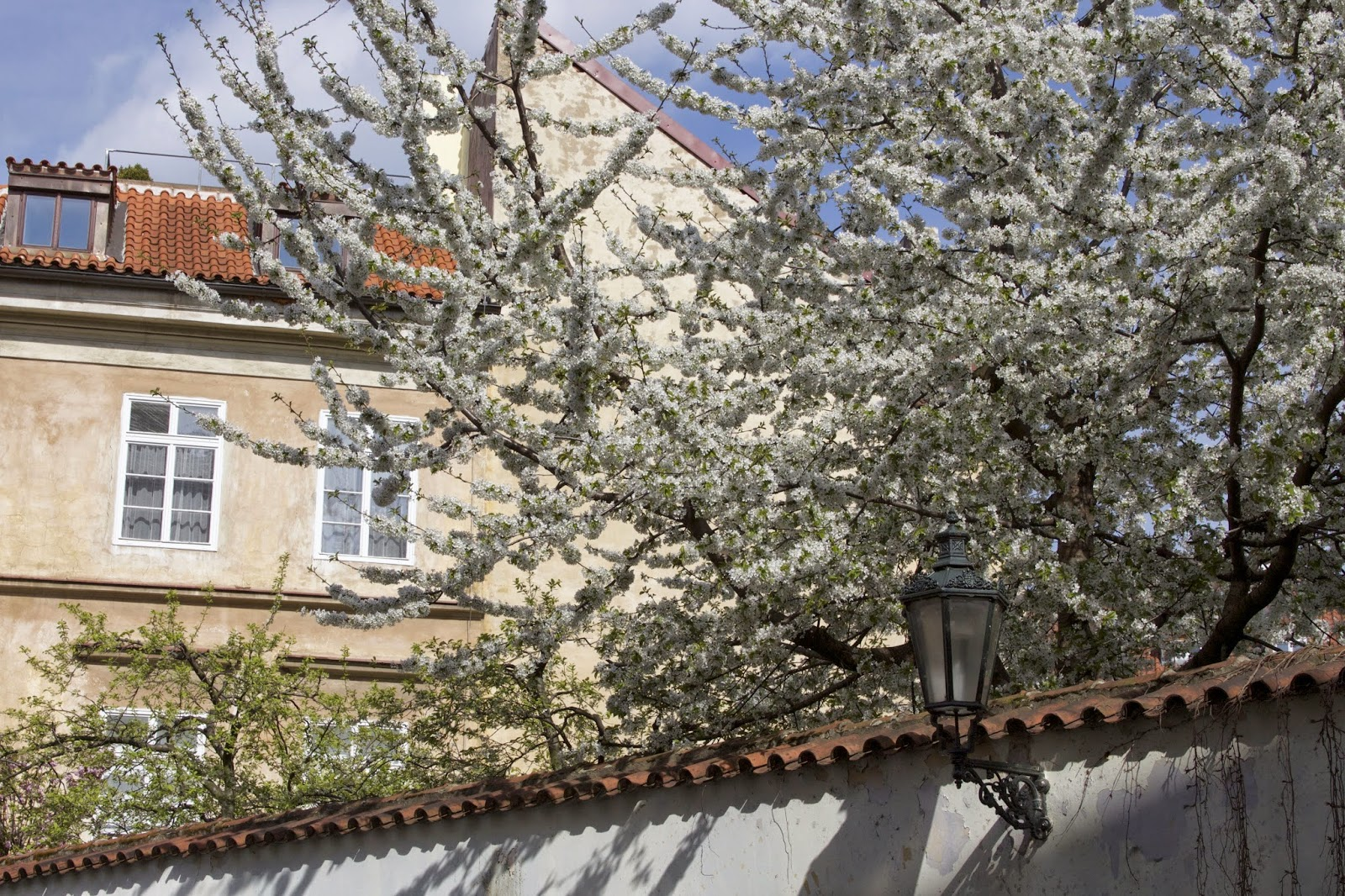 Old jewish quarter of Prague with white blooming tree