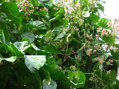 Cinchona (Cinchona Spp) Overview, Health Benefits, Side effects