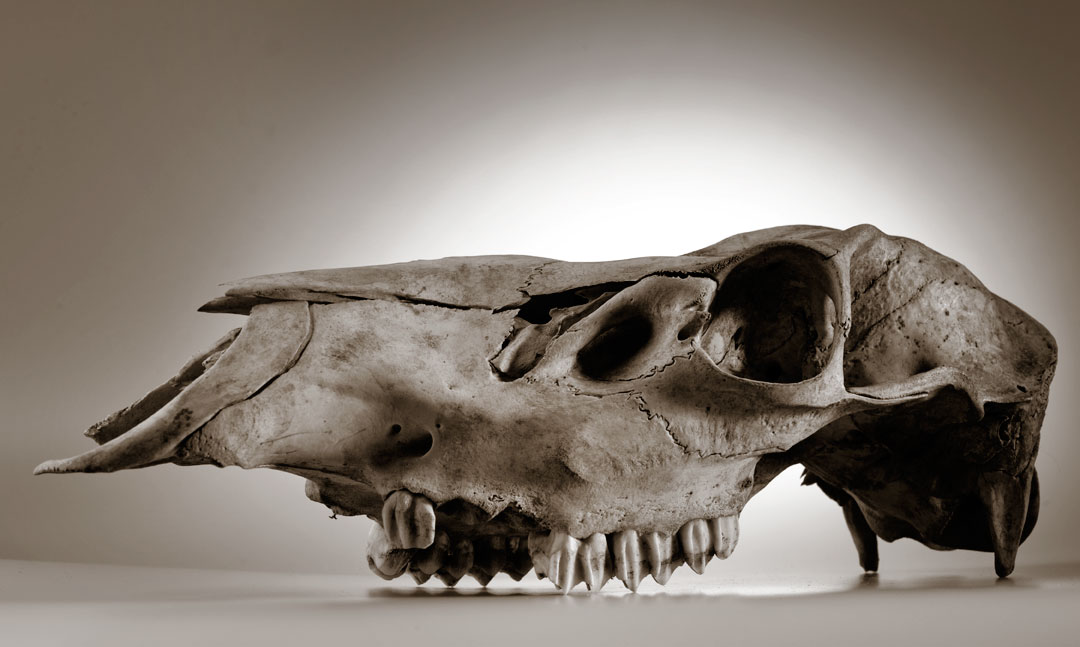 how to find animal skulls