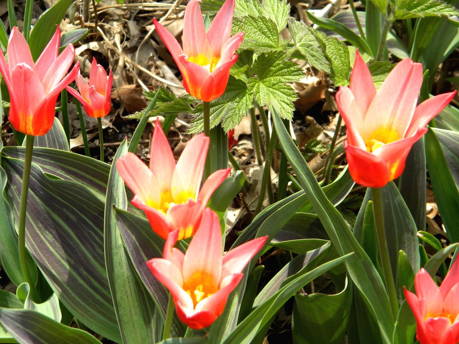 Red Tulips Strawberry Fields