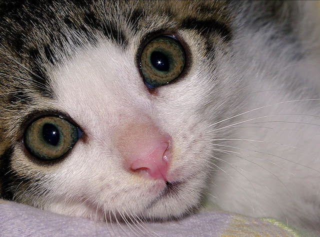 poze pisici motan pisica cat kitten