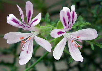pelargonium denticulatum, fern leaf, pine scented flower