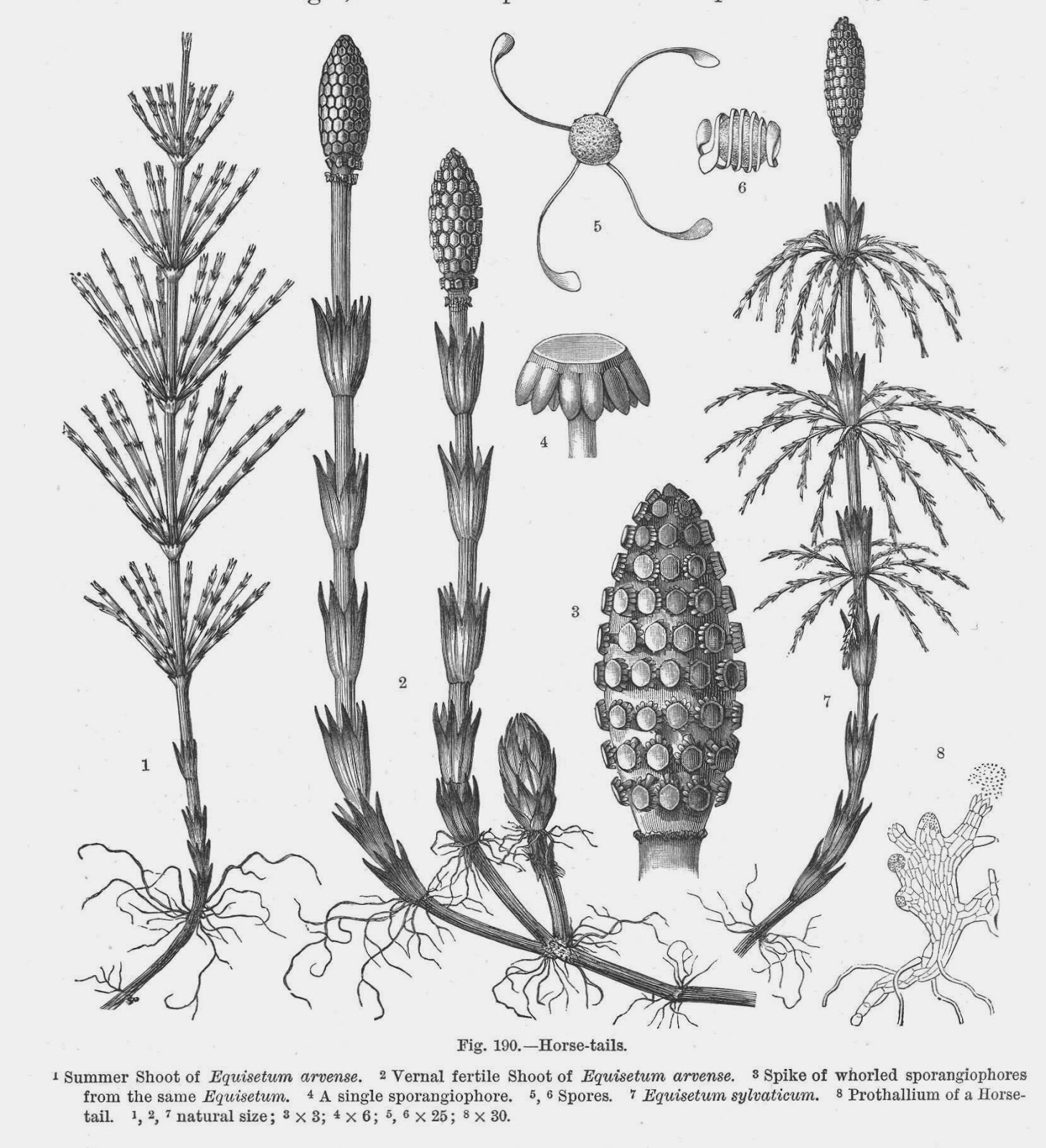 Botany professor a leaf by any other name the upright shoots of horsetails are equivalent to the fronds of ferns but consist of repeated whorls of small leaf like branches and pooptronica