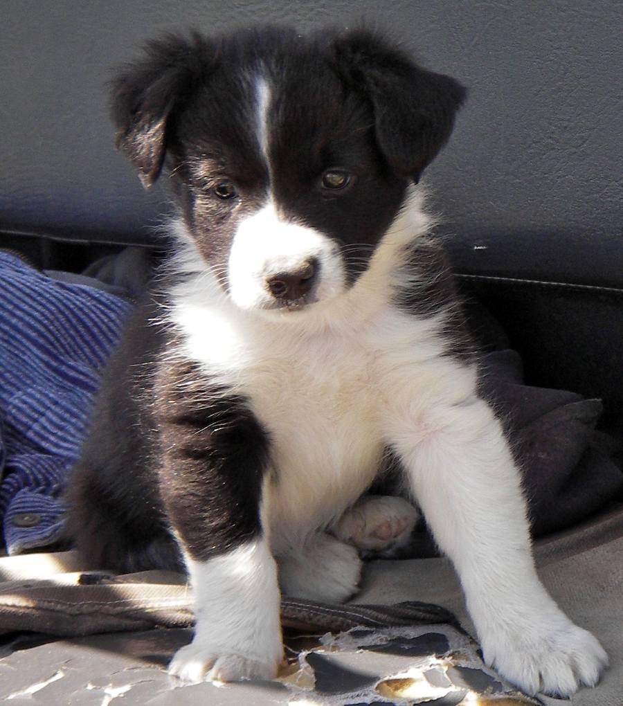 Cute Dogs: Cute Border collie dogs - 111.3KB