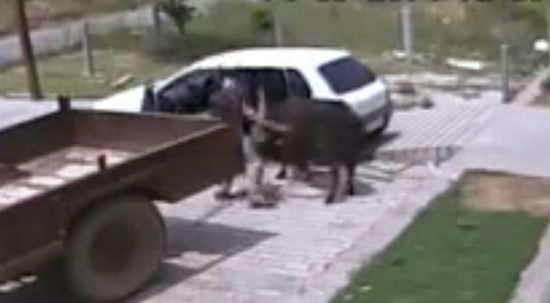 Mencuri Sapi Pakai Mobil
