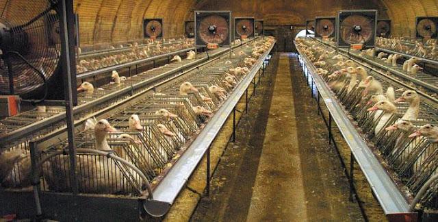 Cierran granjas en suroeste de Francia por gripe aviar