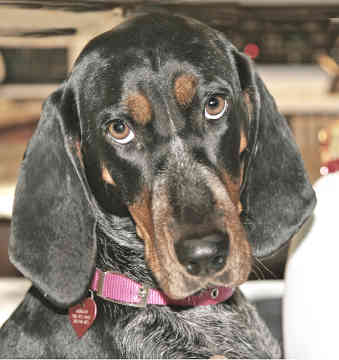 The dog in world: Black and Tan Coonhound dogs American Black And Tan Coonhound Puppies