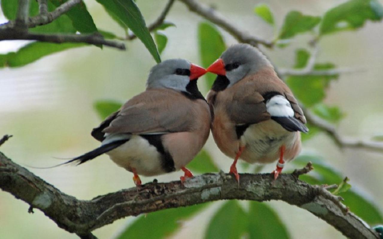 http://4.bp.blogspot.com/-ksaek3YbKc8/T5hZuSpNR5I/AAAAAAAALTo/mNMEBc2RPi0/s1600/Kissing+Birds+Wallpaper__yvt2.jpg