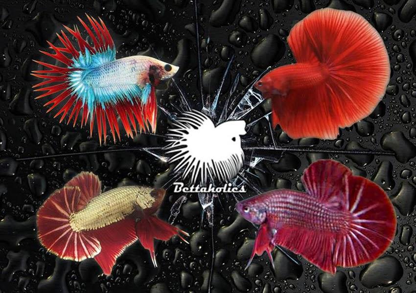 Dunia Ikan Cupang Hias