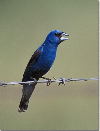birds of oklahoma blue grosbeak