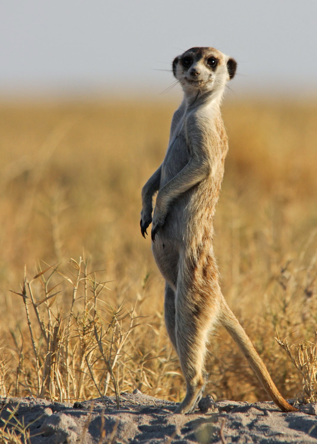Meerkat life of pi for Life of pi animals