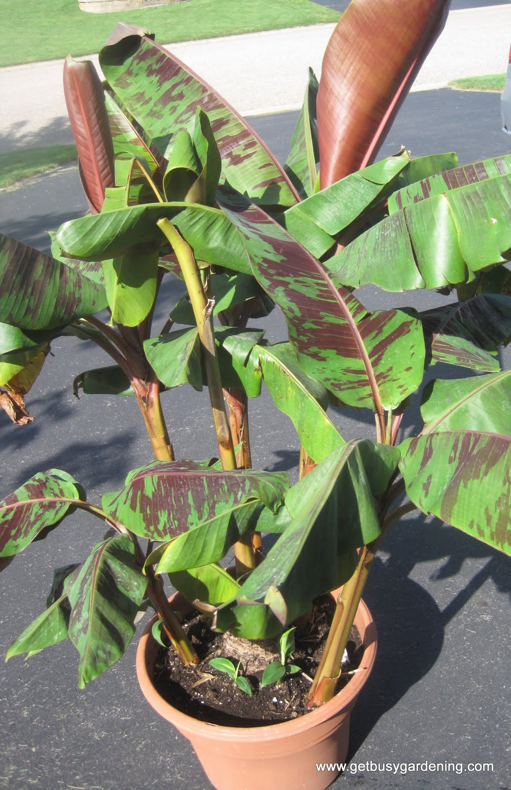 How To Propagate Banana Plants - Get Busy Gardening