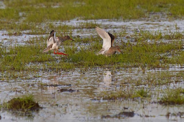 Tureluur - Common Redshank - Tringa totanus
