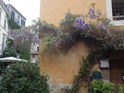 wisteria trastevere glicine roma rome