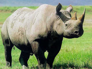 Rhino