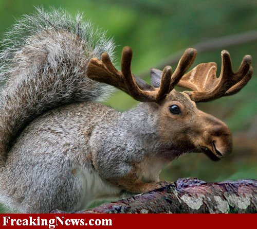 Funny Moose Pictures