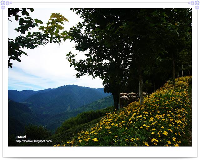 新竹山上人家-整片的野菊
