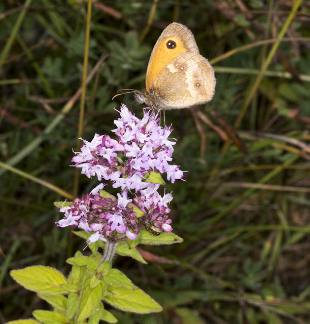 Gatekeeper, Pyronia tithonus., on Wild Marjoram,  Origanum vulgare.  Hutchinson's Bank, 21 July 2015