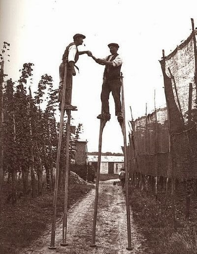 hops pickers on stilts vintage photo