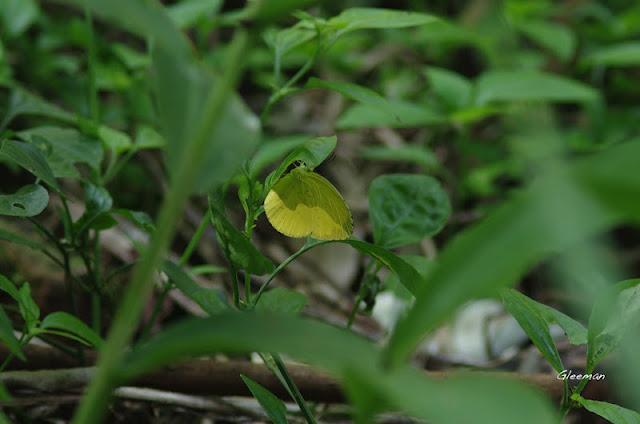 雞南山豹台灣黃蝶