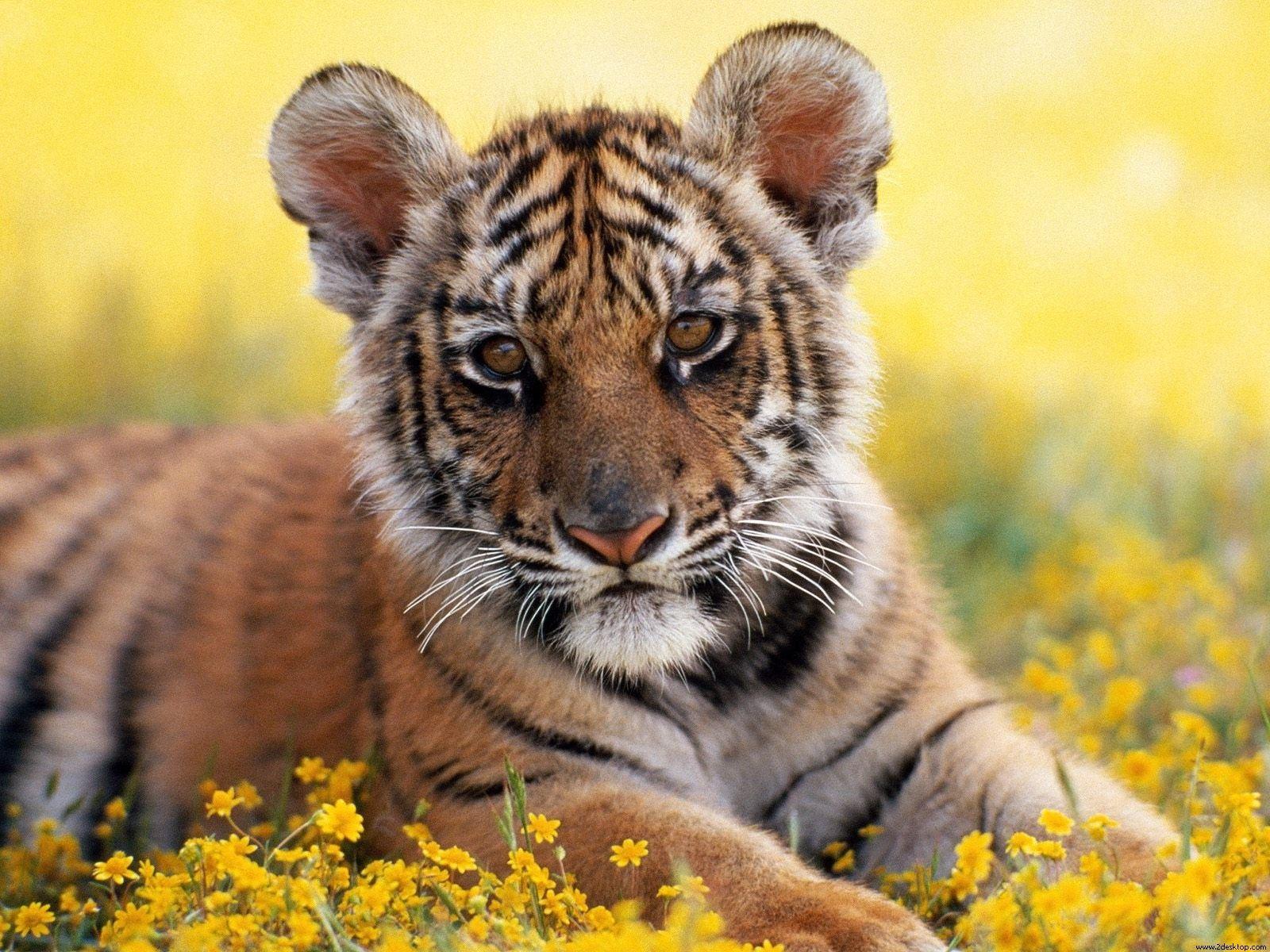 funny wallpapers|hd wallpapers: tiger cub wallpaper