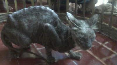 seekor kucing aneh ditangkap oleh warga surabaya