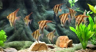 Angelfish pictures