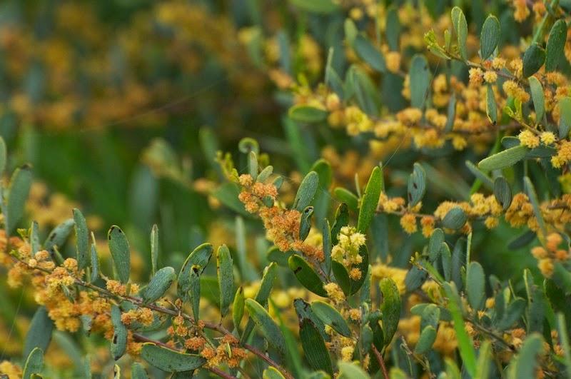 Flat-leaved Wattle (Acacia glaucoptera)