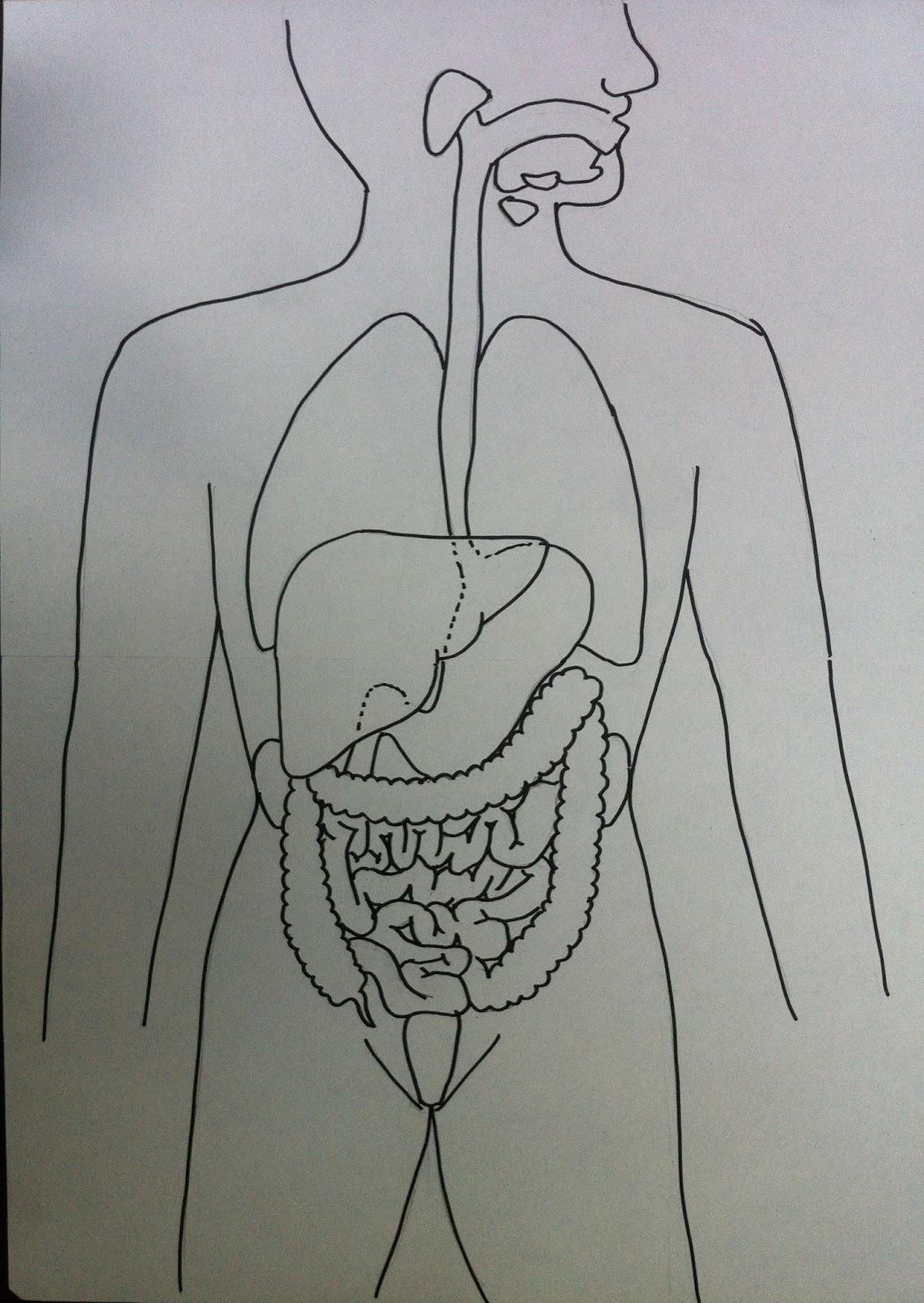 Auftrag 6: Darstellung der Verdauungsorgane: Überarbeitete Skizze ...