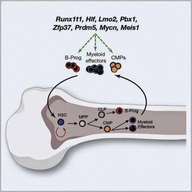 Активация транскрипционных факторов приводит к образованию гемопоэтических стволовых клеток