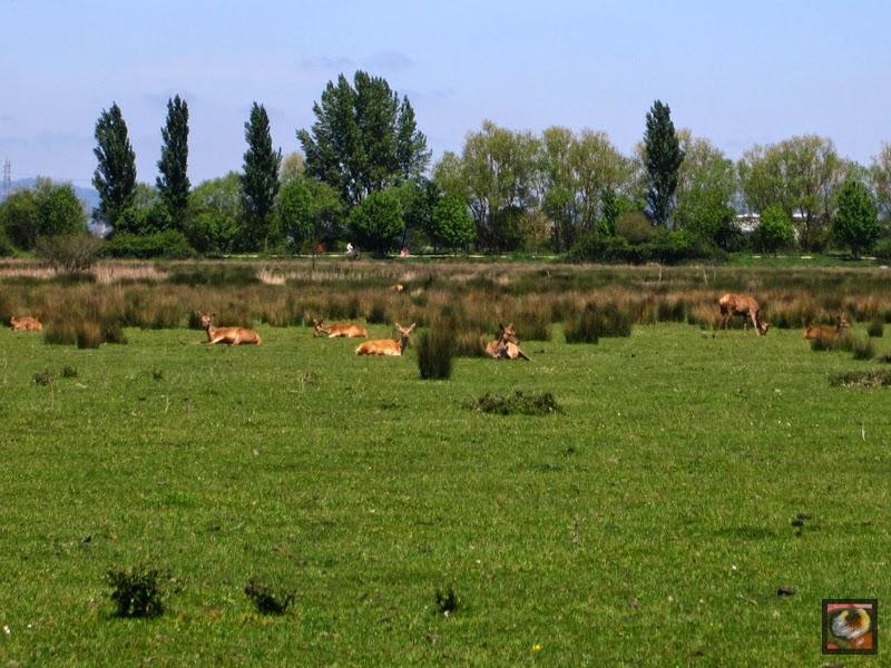 Ciervos en el Humedal de Salburua en Vitoria-Gasteiz (Araba)
