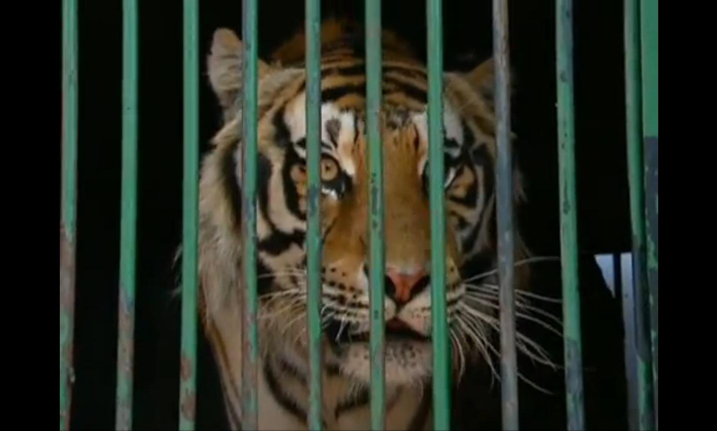 Tigre de Bengala estressado com longa viagem enjaulado