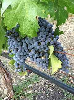 Napa California Wine Grapes