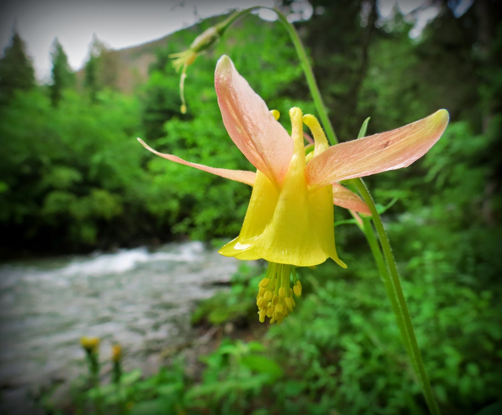 Flora Montana Columbine