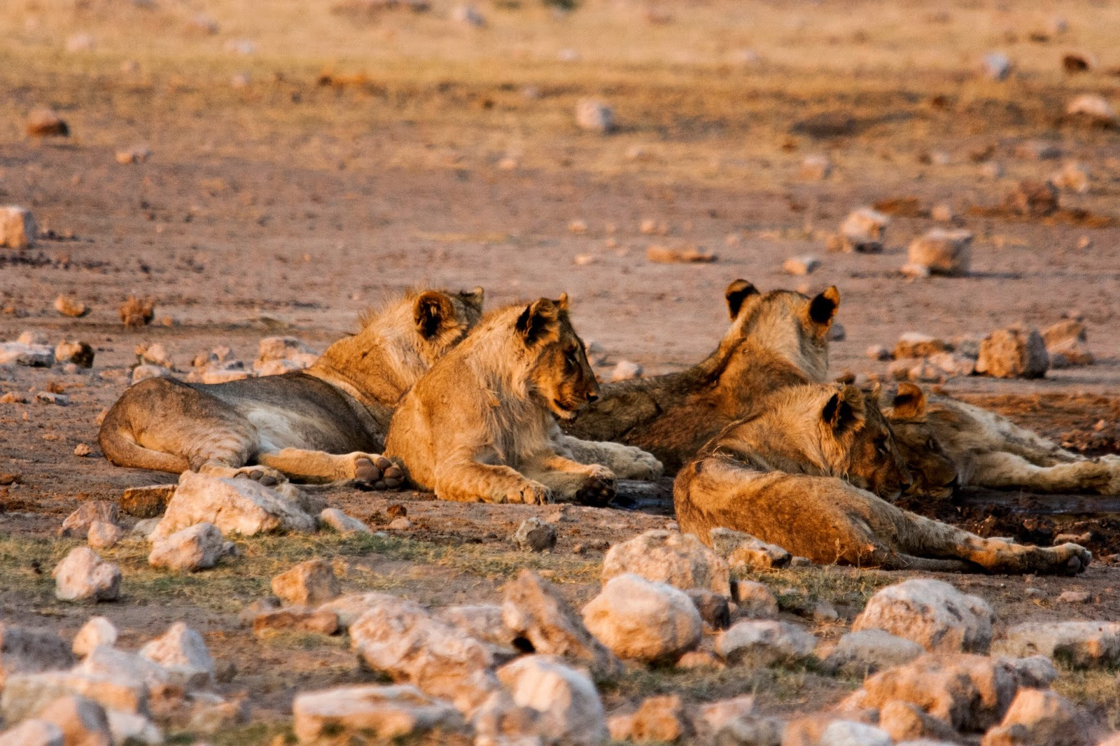 lions at waterhole namibia