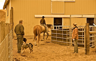 Australian Shepherd with horses