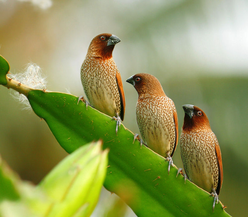 Aves y pajarillos del paraso (Paradise Birds)