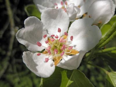 flor peral
